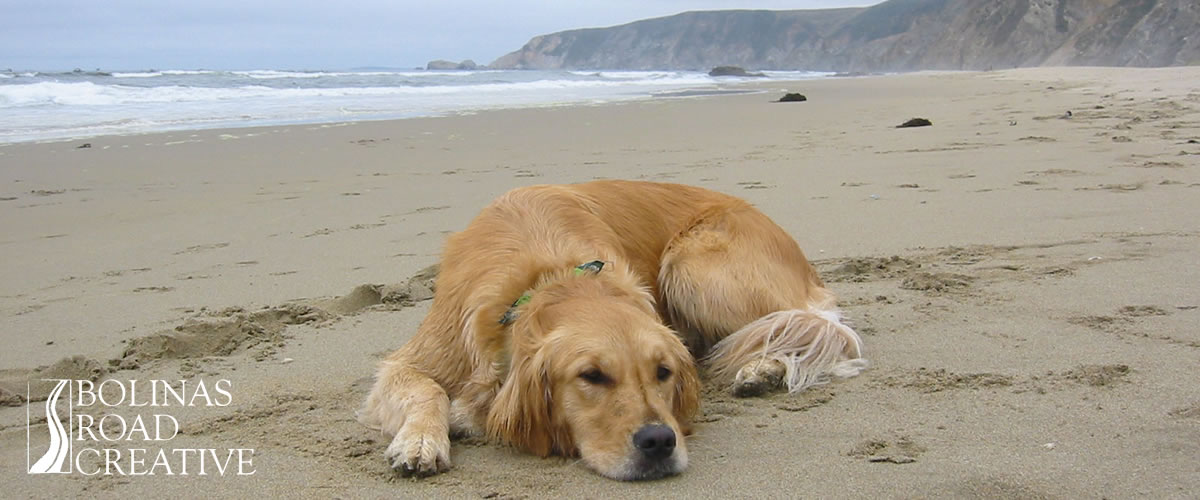 A golden retriever rests on the sandy beach with waves and tall bluffs in the background. A diligent Bolinas Road Creative employee.