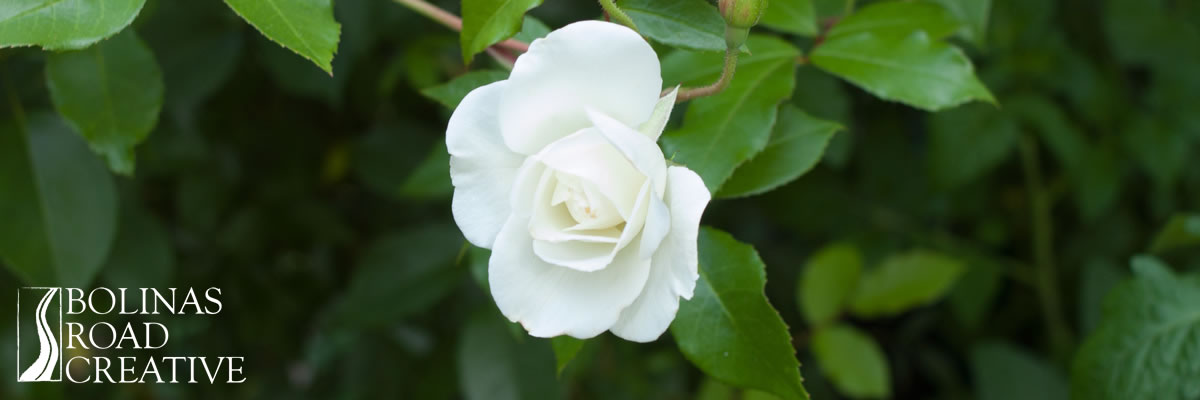 A simple white rose against dark green leaves. Perfect design.